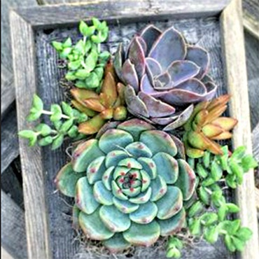 Living Succulent Picture Frame